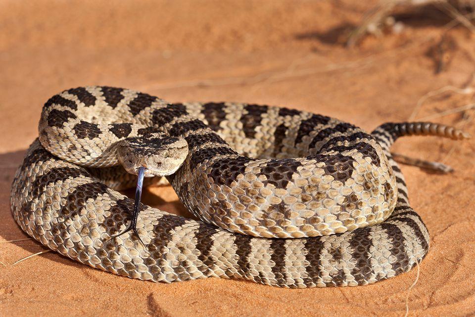 Rattlesnakes in Texas