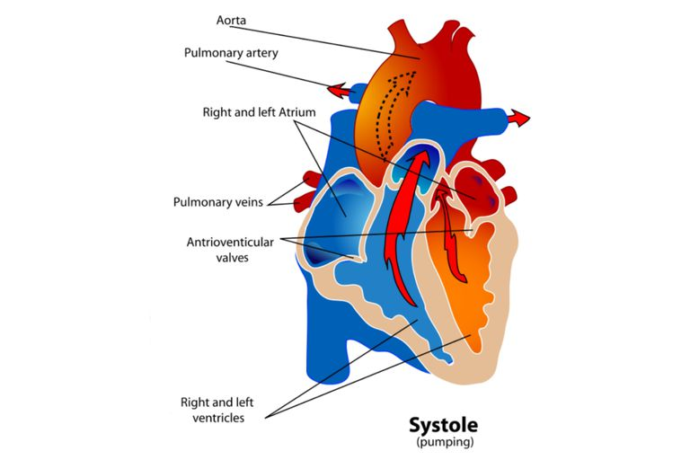 Phases of the cardiac cycle when the heart beats diagram of the heart during the systole phase of the cardiac cycle ccuart Image collections