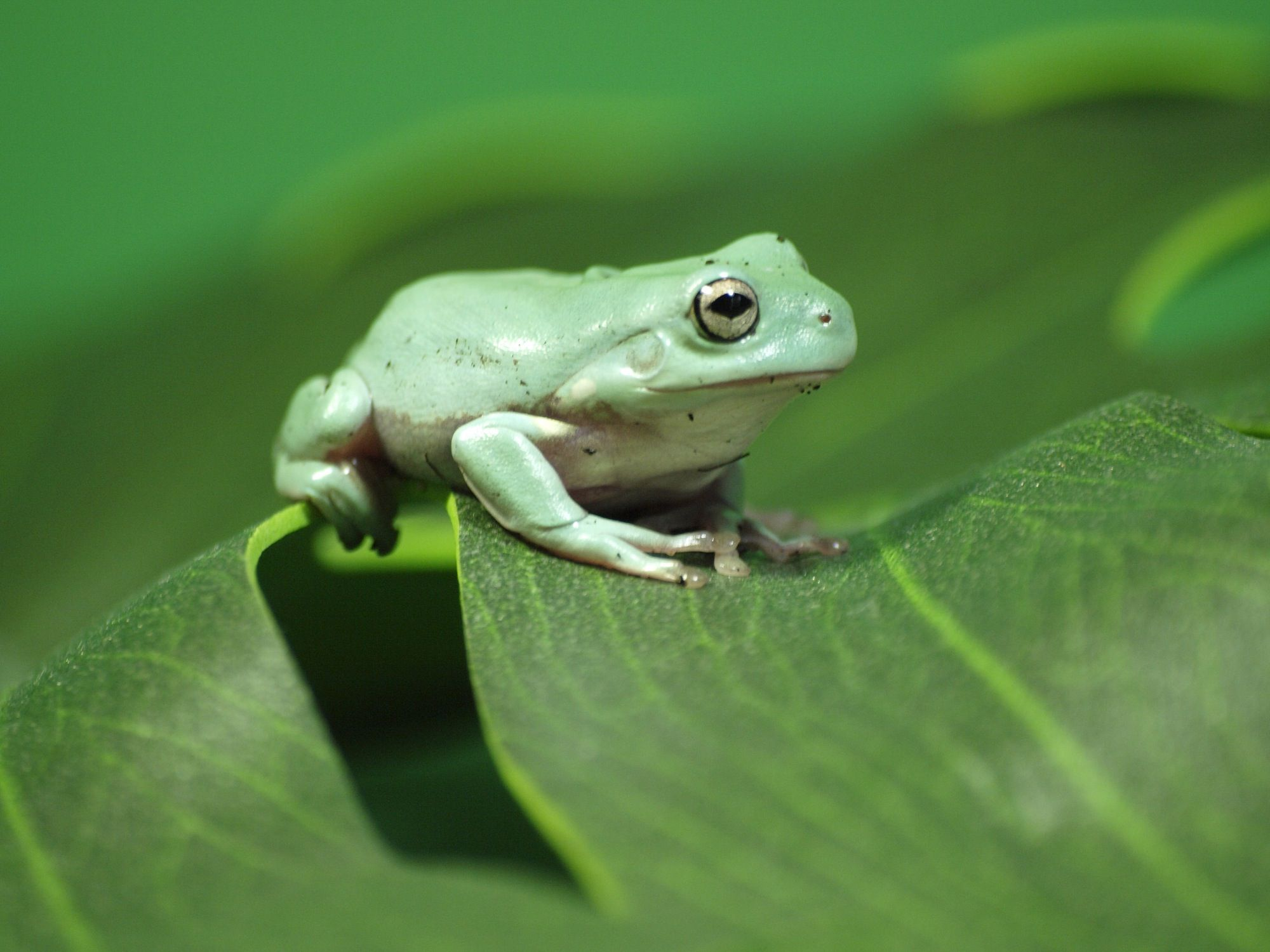 Introduction And Care Of Pet White S Tree Frogs