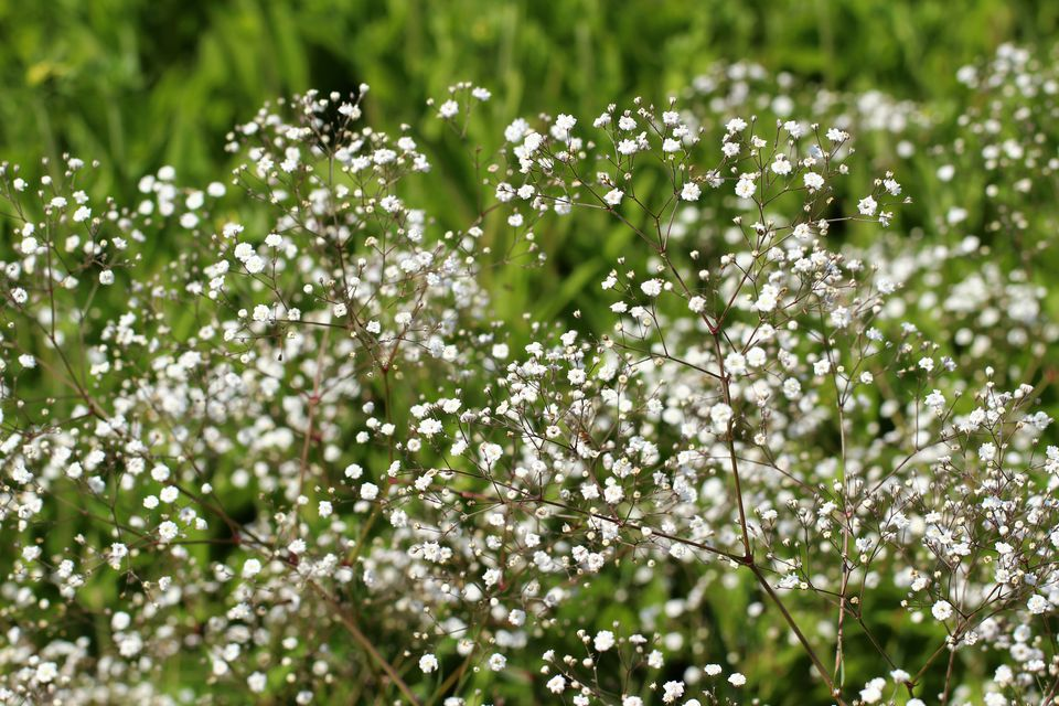 Baby's Breath Flowers