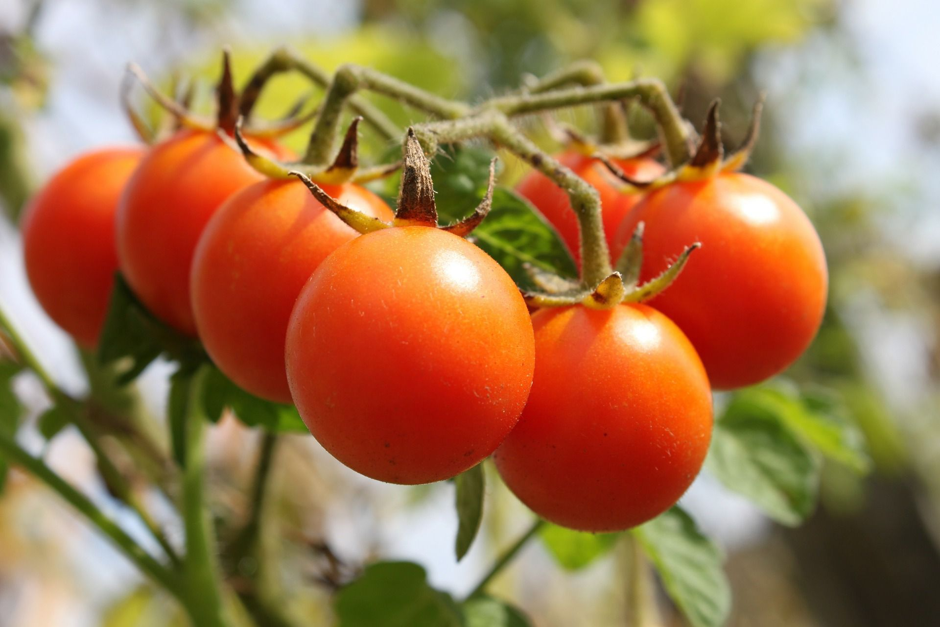 Early Season Tomato Varieties for Your Garden