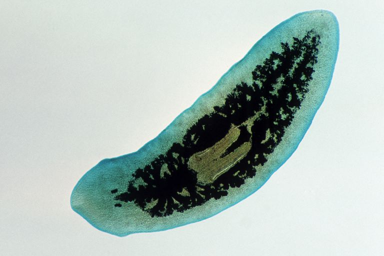 This planarian (Dugesia) belongs to one of the four groups of flatworms alive today.
