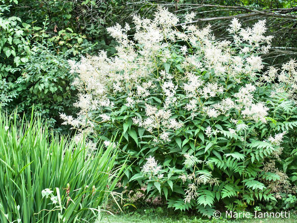Giant Fleece Flower (Persicaria polymorpha)