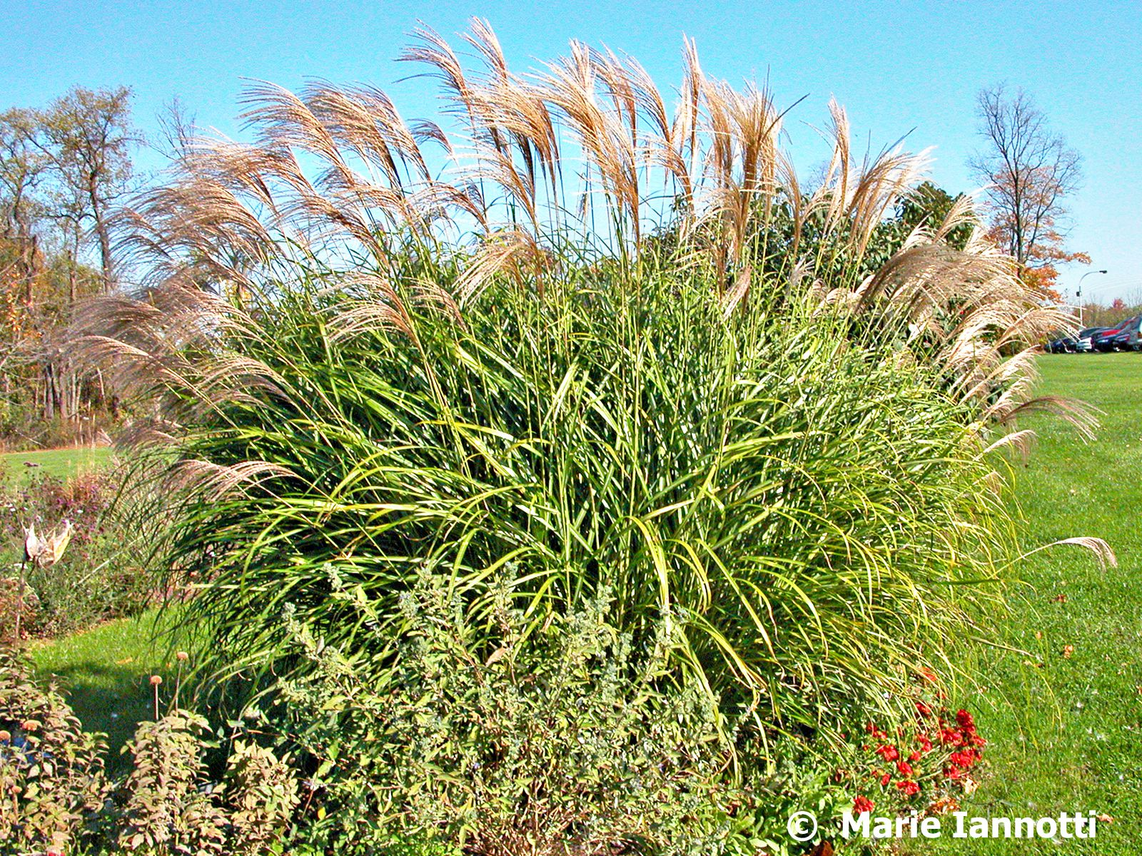 How to choose an ornamental grass for Ornamental grass design