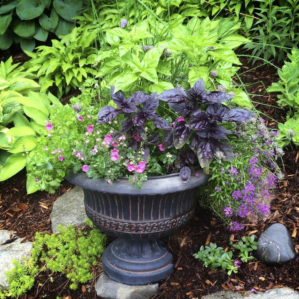Basil in a Garden Pot