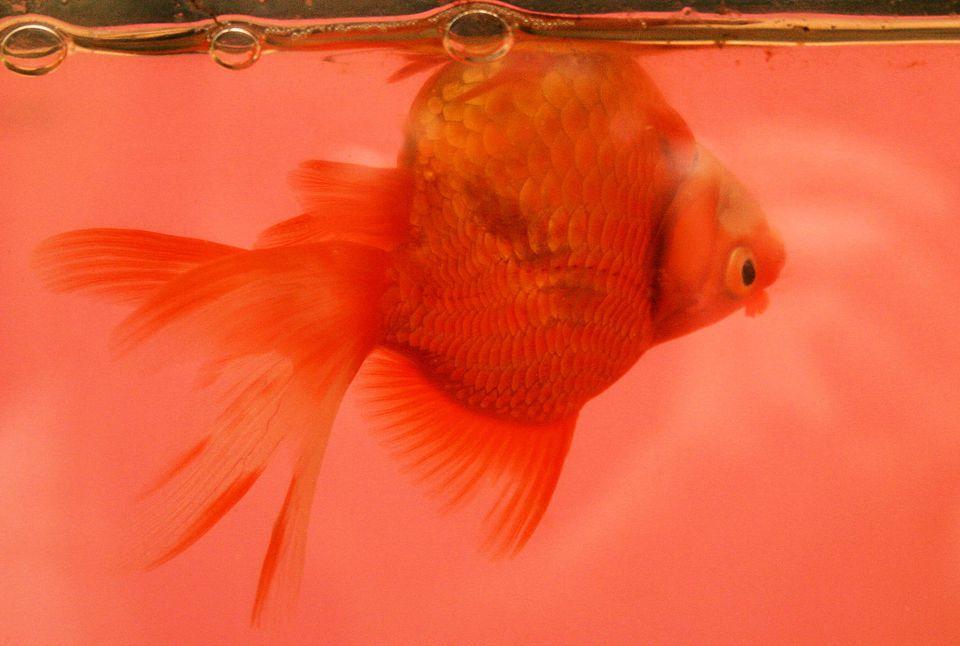 Goldfish_with_swim_bladder_disease.JPG