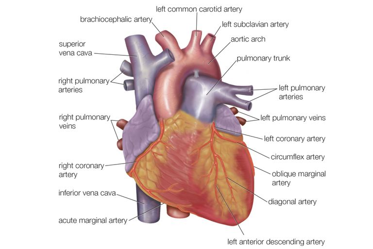 Exterior Heart Anatomy