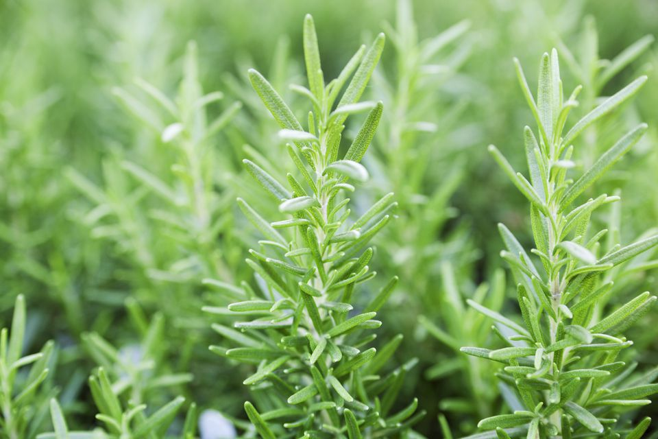 Rosemary Herb Plant Vegetable Garden, Fresh Green Leaf Sprigs Close-up