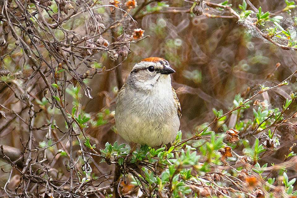 chipping-sparrow-shrub.jpg
