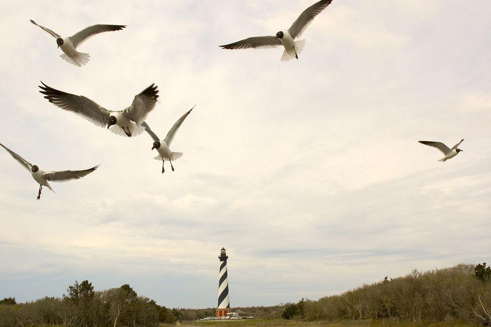 Cape Hatteras Seagulls in North Carolina