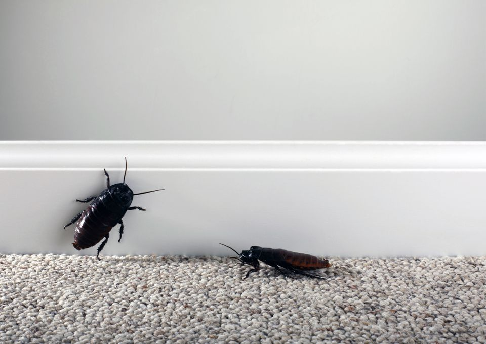 cockroaches on carpet