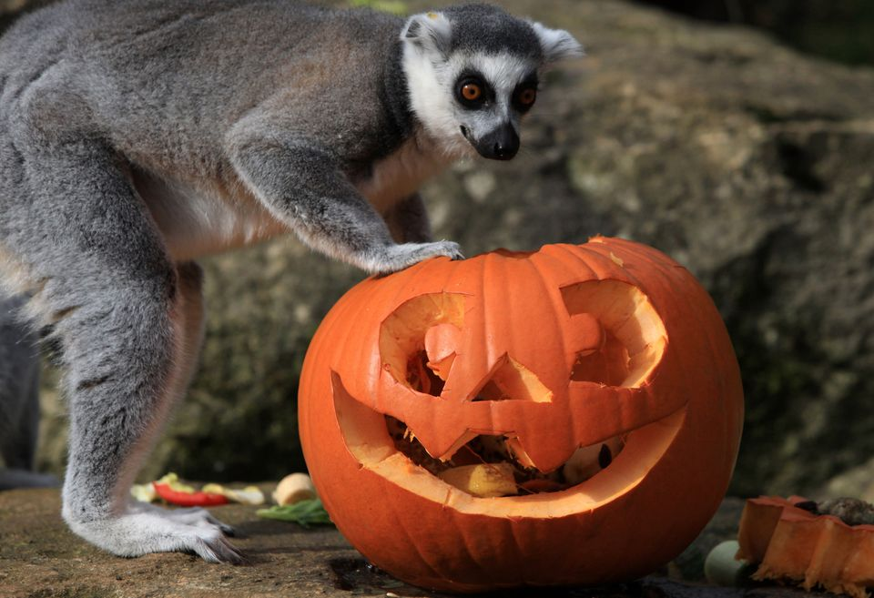 Ring-tailed lemurs with pumpkin