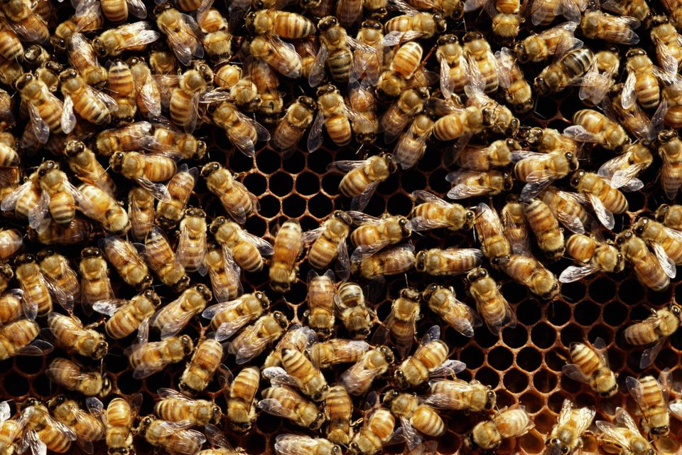 Honey bees (Hymenoptera) on honeycomb