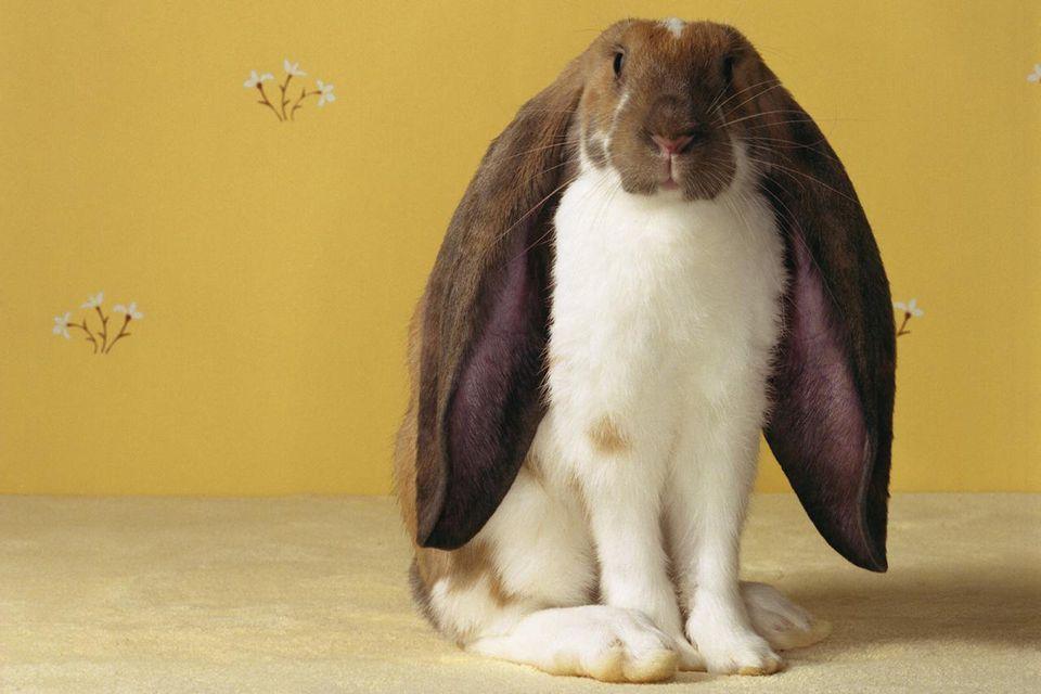 English Lop Rabbit sitting against yellow wallpaper