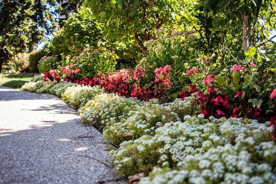 alyssum and begonias - Flower Garden Path