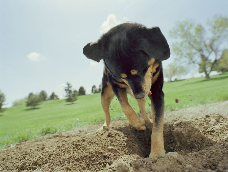 Puppy digging in a field