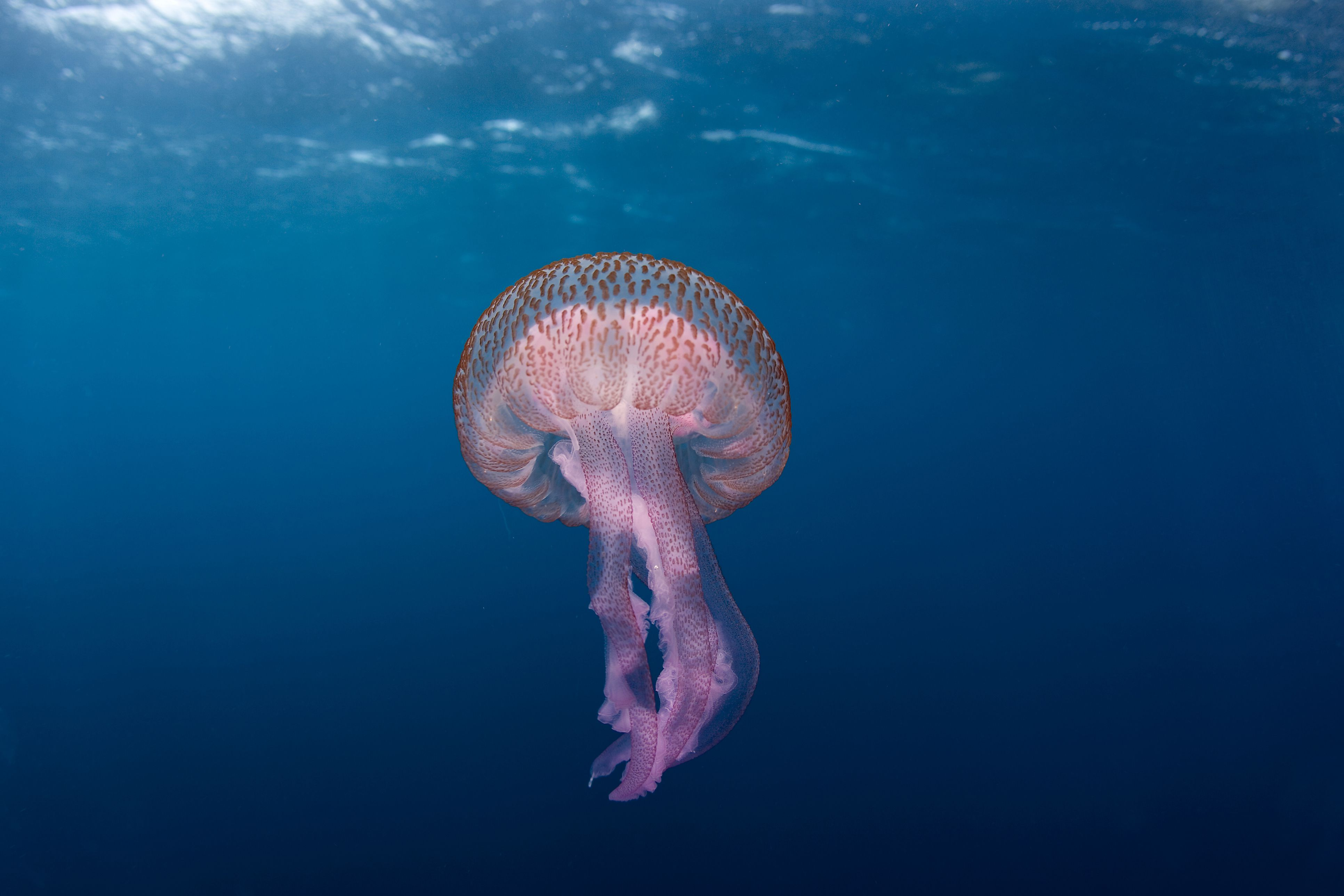 Profile of the Fascinating and Beautiful Jellyfish