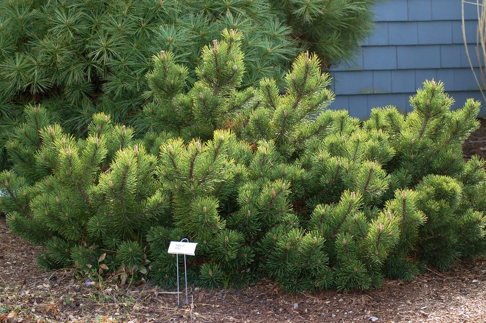 mugo pine trees select 39 mops 39 for a dwarf cultivar. Black Bedroom Furniture Sets. Home Design Ideas