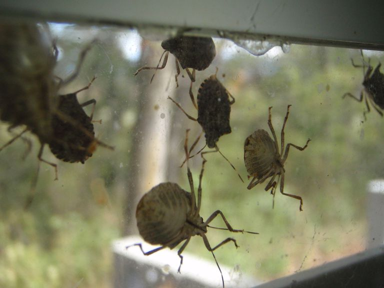 Brown marmorated stink bugs like to invade homes in the fall.