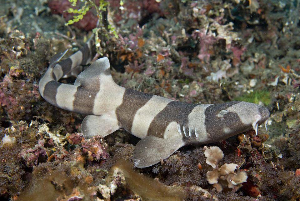 Juvenile Brown-banded Bamboo Shark, Chiloscyllium punctatum, Lembeh Strait, North Sulawesi, Indonesia.