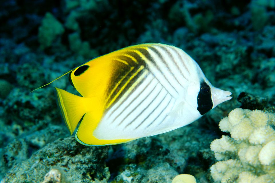 Side view of a single threadfin butterflyfish (Chaetodon auriga)