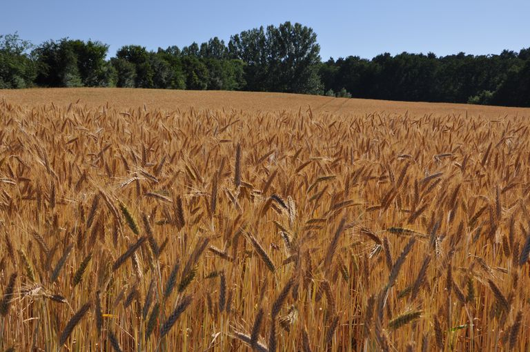 Field of Rye (Secale cereale)
