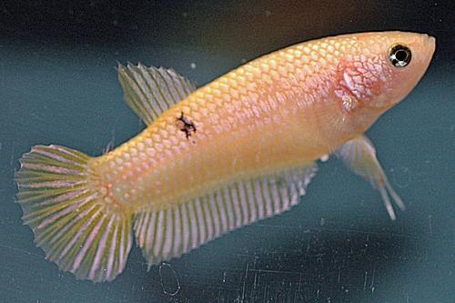 Traditional PK Yellow Dragon Female
