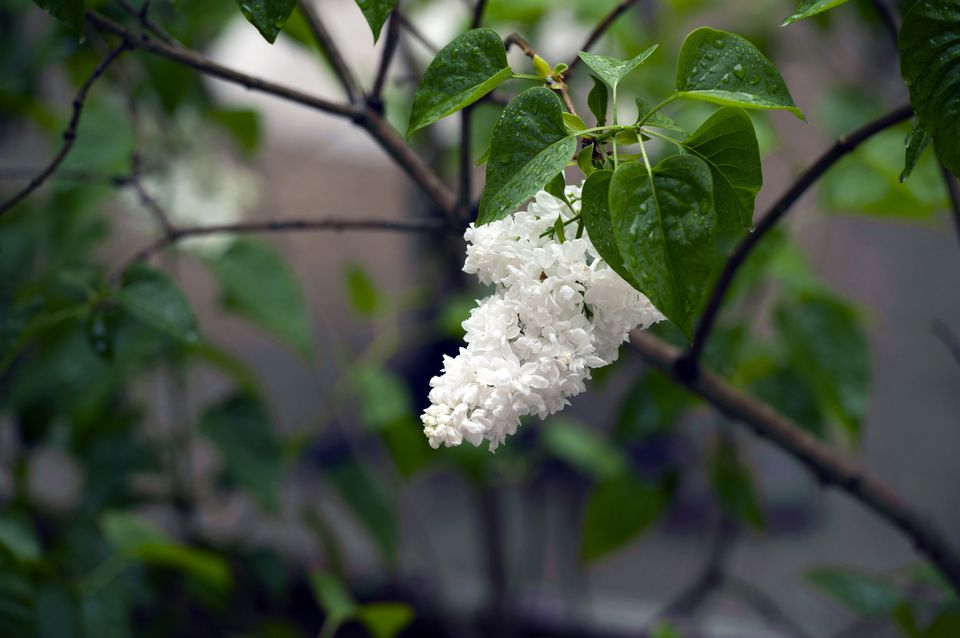 10 best shrubs with white flowers single raceme of white lilac flowers mightylinksfo Images