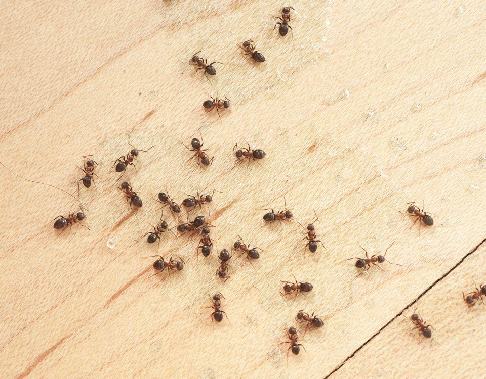 ants on wodden floor top view mit Ameisengift