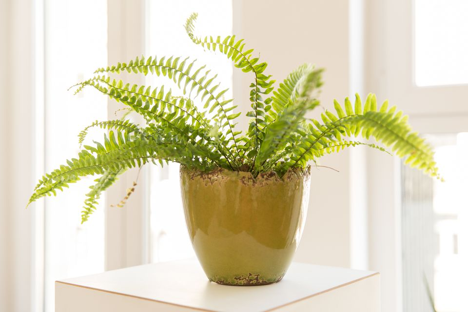 flowerpot with nest fern