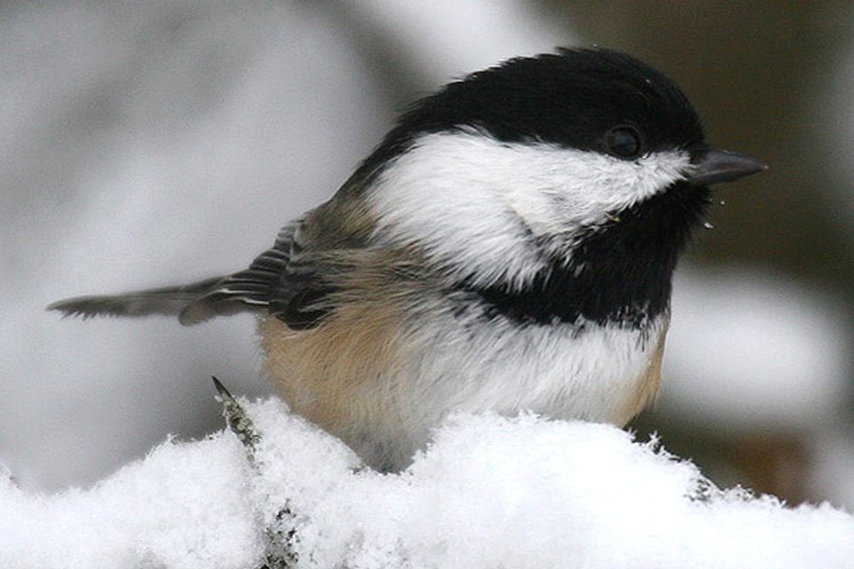 Pictures of State Birds - Photo Gallery