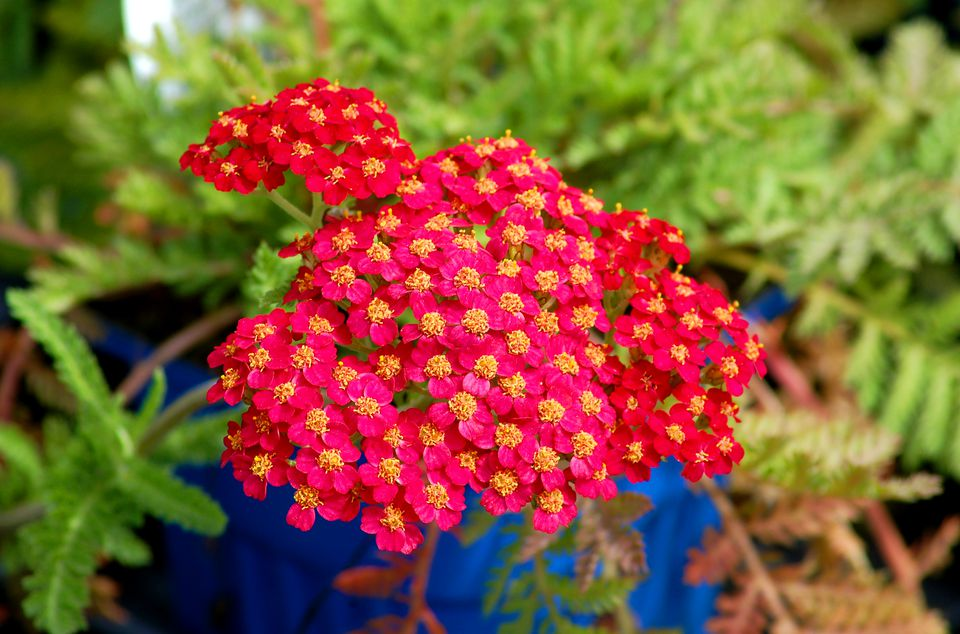 Paprika (image) is a red type of yarrow. The plant is also known as Achillea.