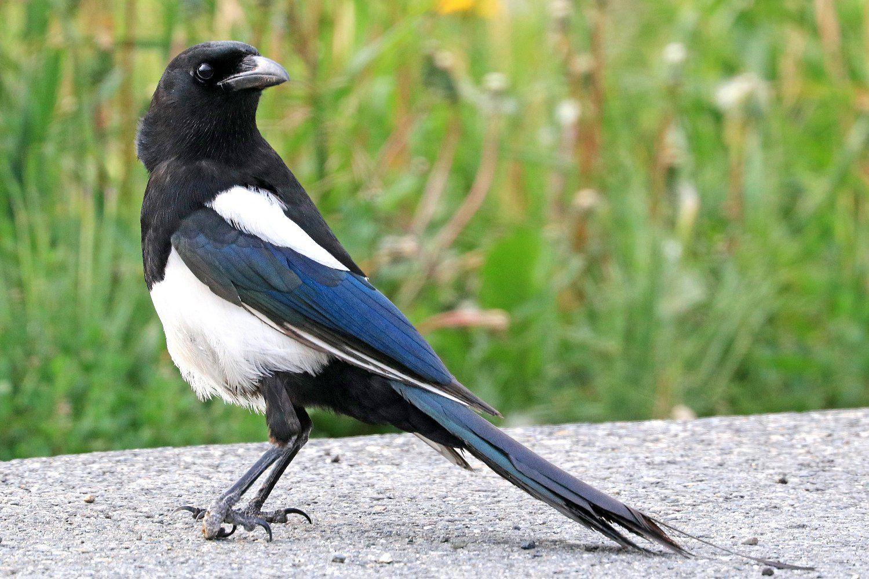 Black Billed Magpie Pica Hudsonia