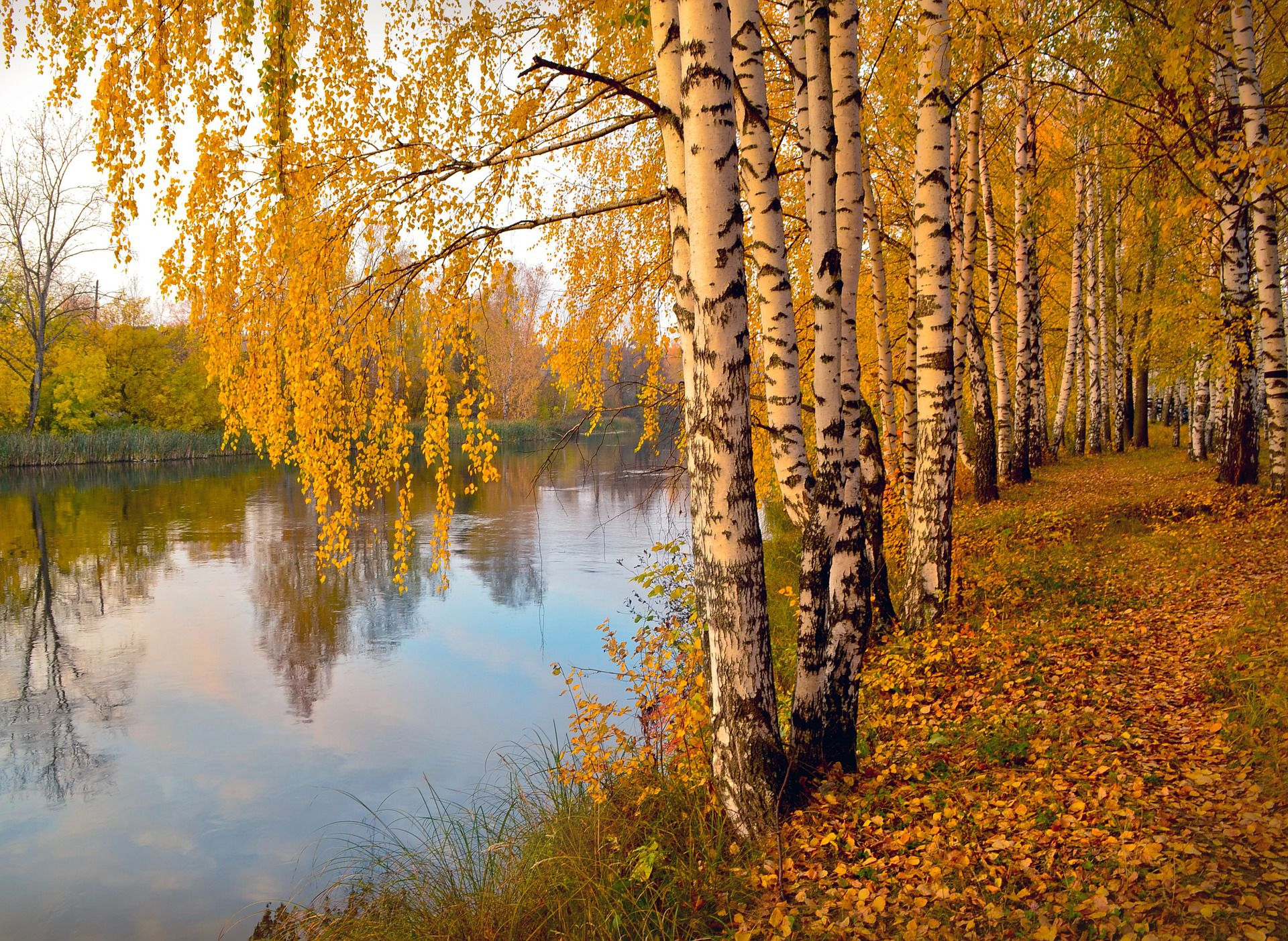Meet 12 Species Of Birch Trees Betula Genus