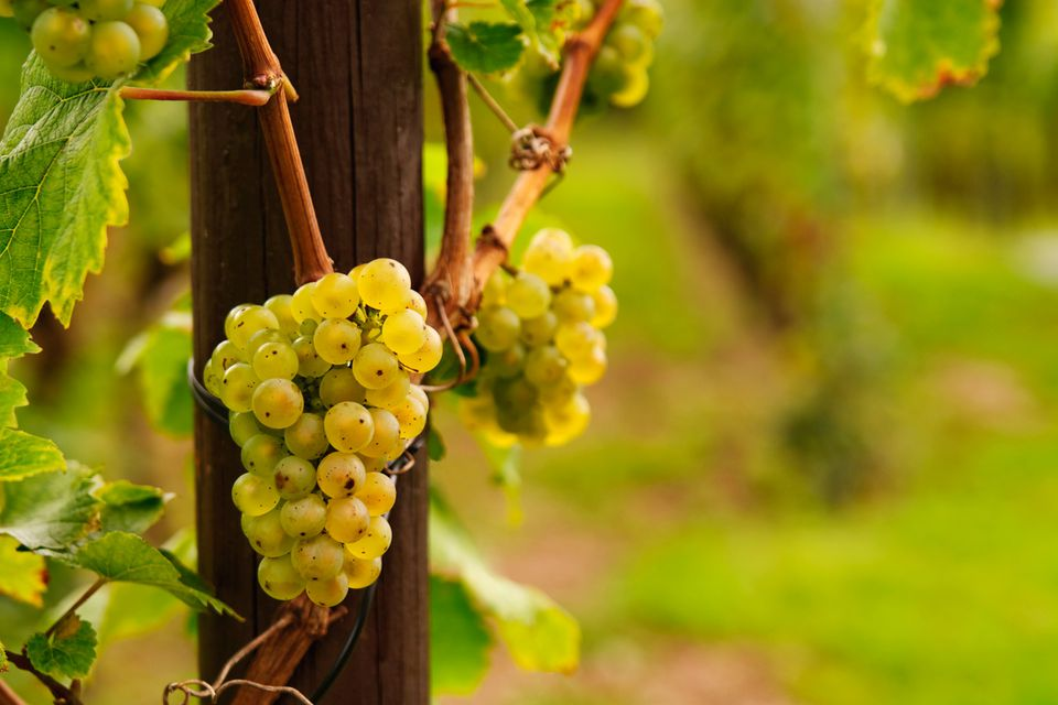Riesling grapevines