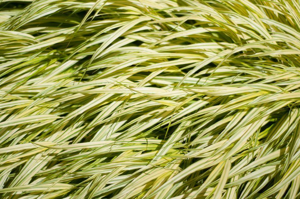 Hakonechloa macra alboaurea grass