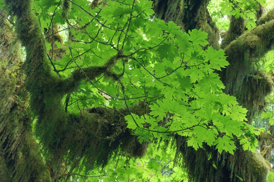Branch and leafs of big leaf maple tree (acer macrophyllum), close-up