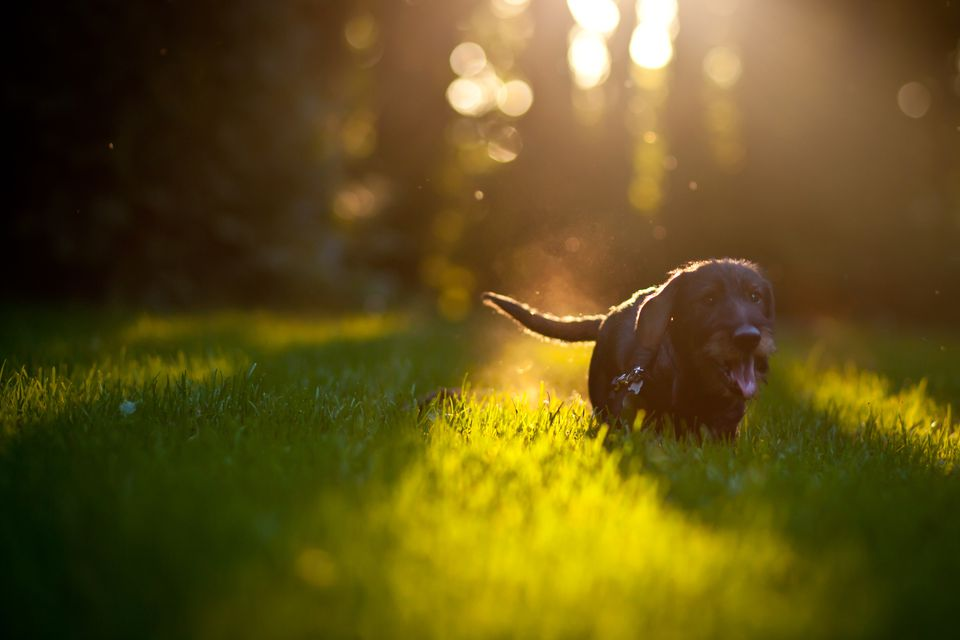 Puppy Frolicking in a Field as Sun Sets
