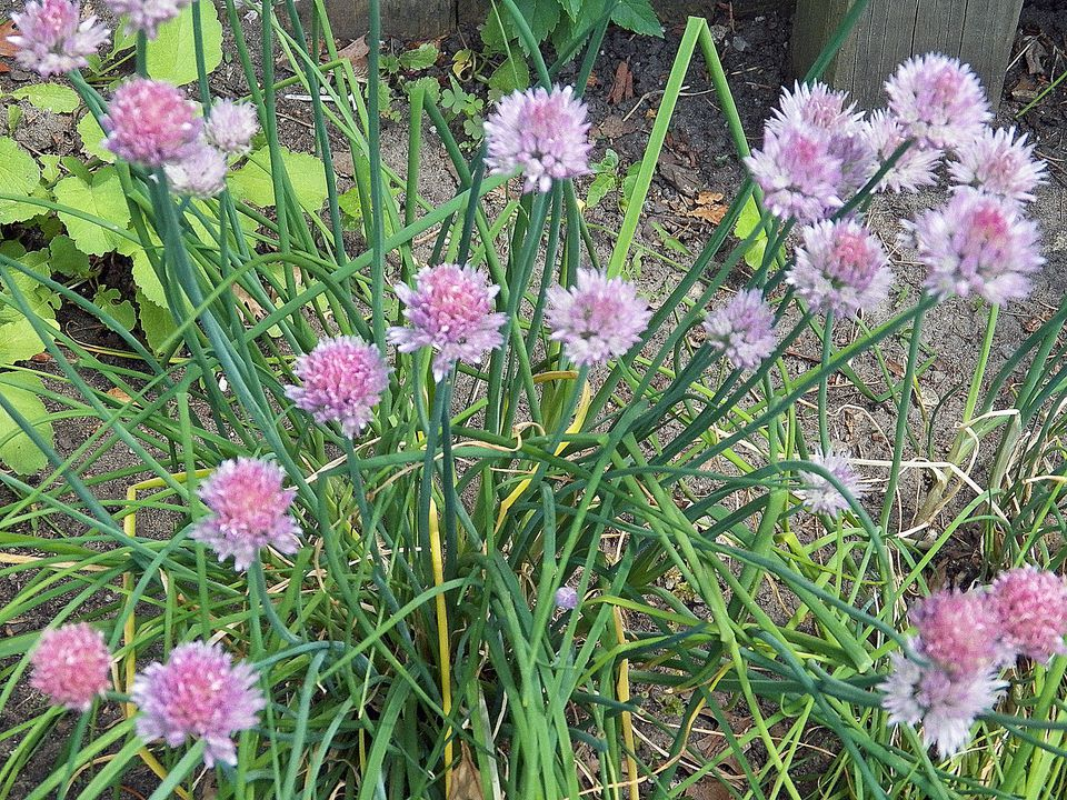 chives, herbs, edible, flowers, buds, blooms, recipes, receipts