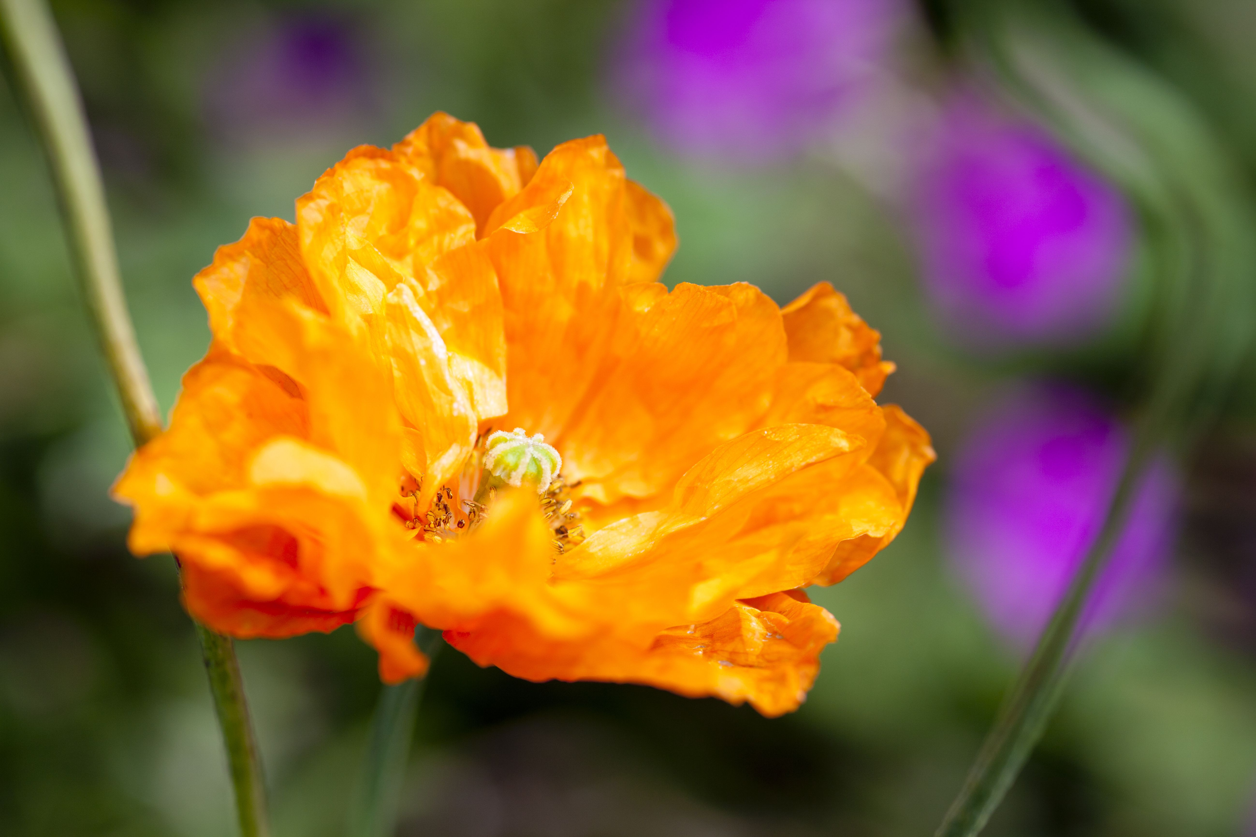 The 10 best garden poppies to grow in every region mightylinksfo Image collections