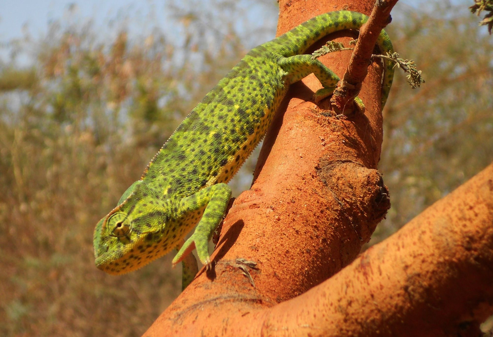 X 1 Chameleon Basic Care for Senegal...