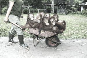 person pushing wheelbarrow full of chimpanzees