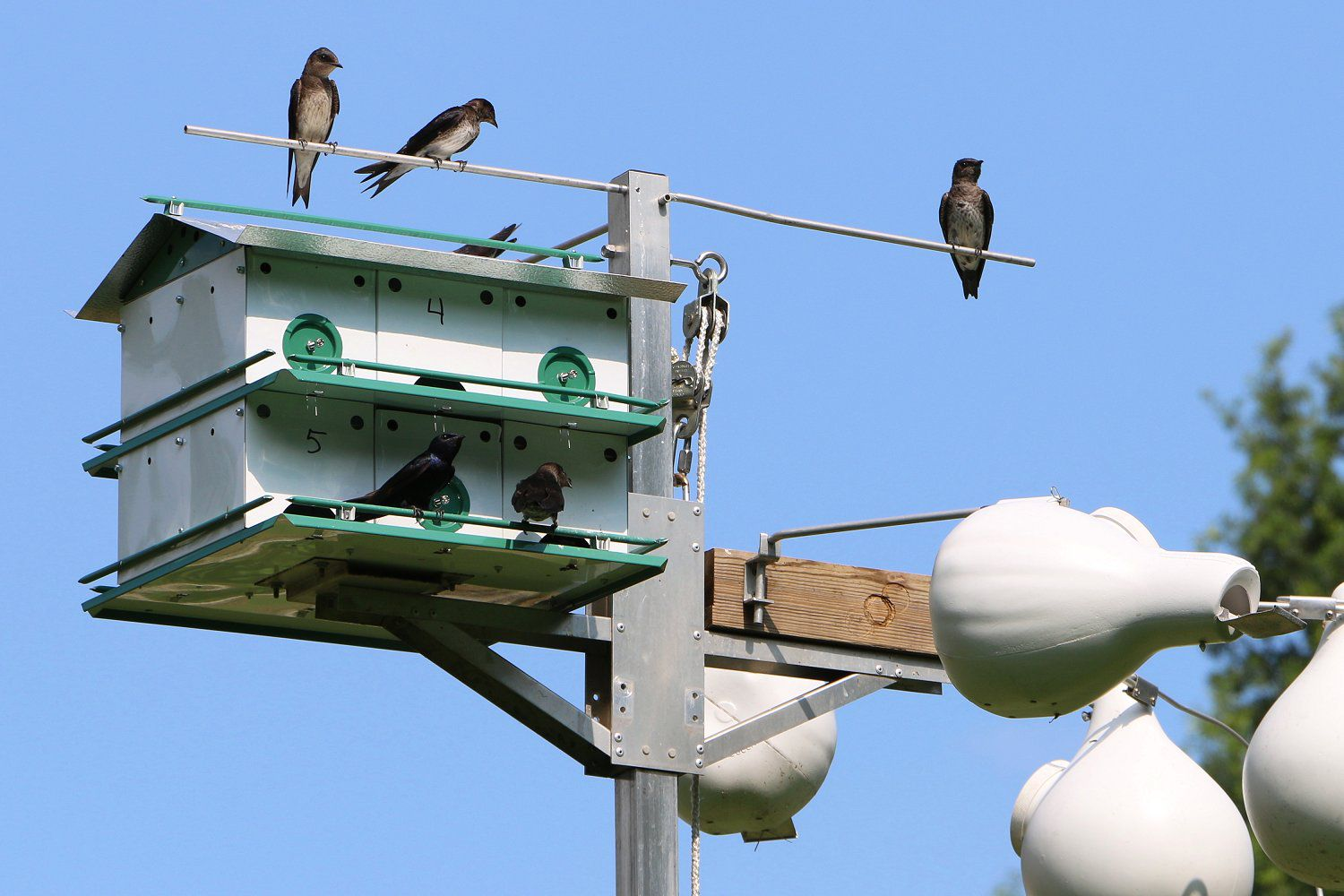 how to draw a purple martin