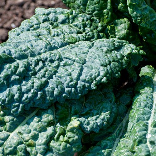 Tuscan kale is also known as lacinato, dinosaur kale or nero di Toscana
