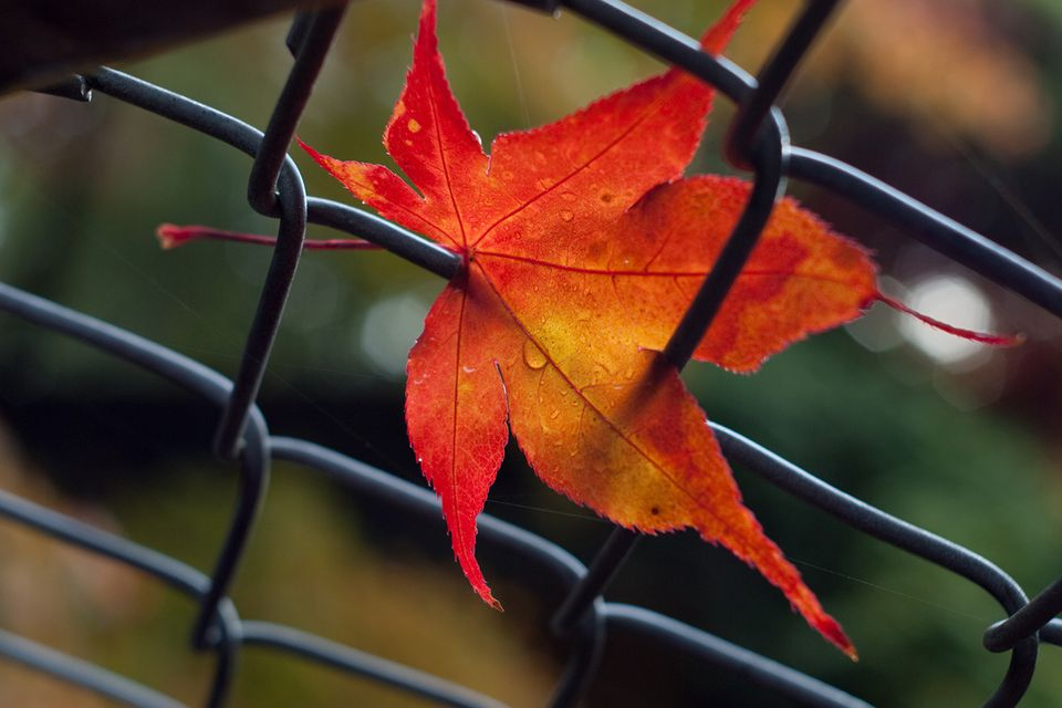Red autumn leaf in wire mesh fence, Stanley Park, Vancouver, BC, Canada.