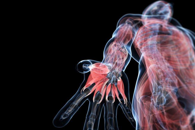 Human Muscles Anatomy