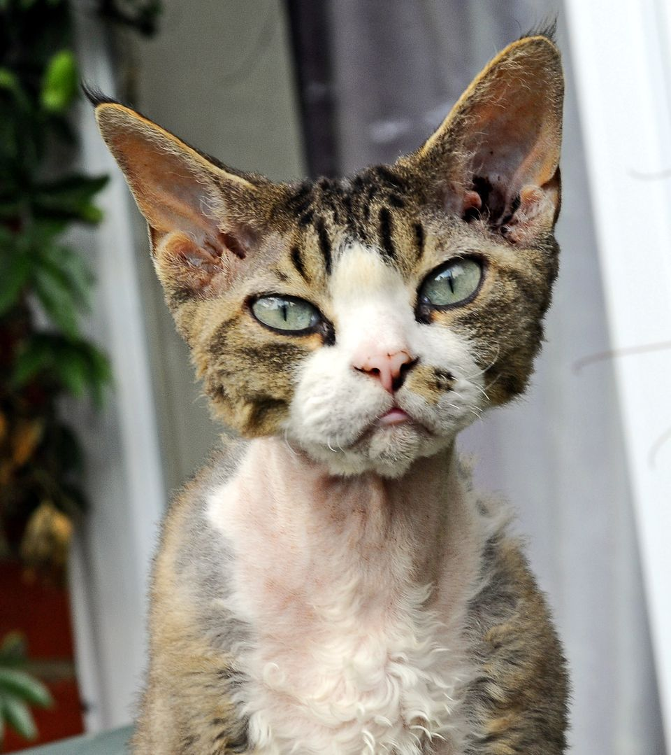 Devon Rex cat outside on a porch