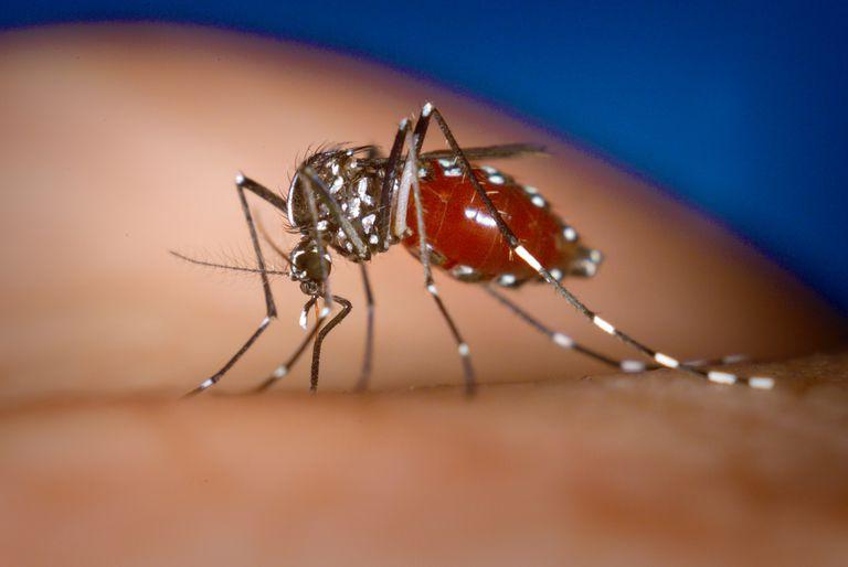 Aedes-albopictus.jpg