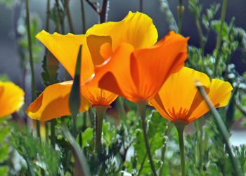 Mexican Poppies in Arizona