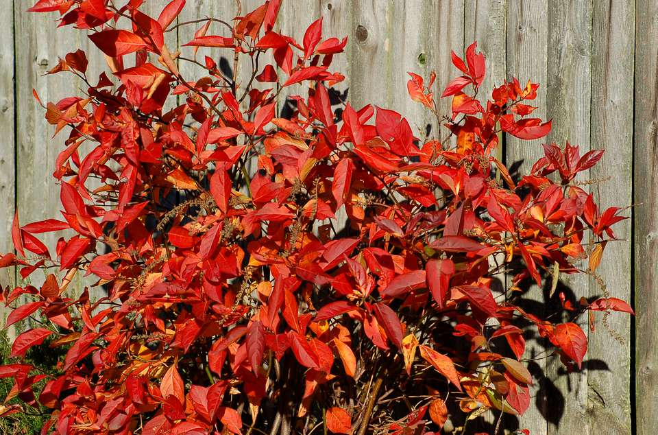 Virginia sweetspire (image) has good fall color. Its blooms are not exceptional.